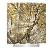 Ginkgo Tree With Sunlight Streaming Shower Curtain