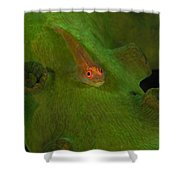 Goby On A Coral, Australia Shower Curtain