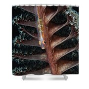 Goby On A Sea Pen, Indonesia Shower Curtain
