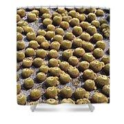 Golden Barrel Cactus 1 Shower Curtain