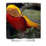 Golden Pheasant Posing Shower Curtain