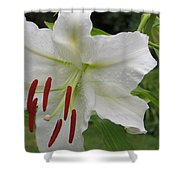 Golden Rayed  Lily Shower Curtain