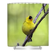 Goldfinch - All Puffed Up Shower Curtain
