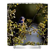 Good Morning Sunshine - Eastern Bluebird Shower Curtain