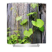 Grape Vines On An Old Barn Shower Curtain