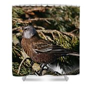 Gray-crowned Rosy Finch Shower Curtain