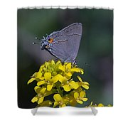Gray Hairstreak Butterfly Din044 Shower Curtain