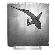 Gray Reef Shark, Kimbe Bay, Papua New Shower Curtain
