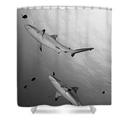 Gray Reef Sharks. Papua New Guinea Shower Curtain