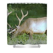 Grazing Bull Elk  Shower Curtain