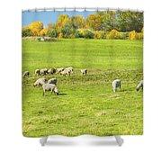 Grazing Sheep On Farm In Autumn Maine Shower Curtain