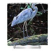 Great Blue Heron, Florida Shower Curtain