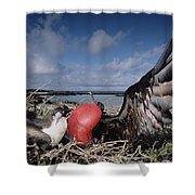 Great Frigatebirds Courting Shower Curtain