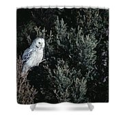 Great Gray Owl Strix Nebulosa In Blonde Shower Curtain