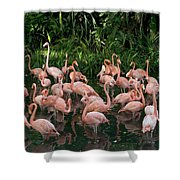 Greater Flamingo Phoenicopterus Ruber Shower Curtain