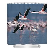 Greater Flamingos In Flight Over Lake Shower Curtain