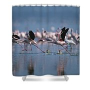 Greater Flamingos Run Through Shallow Shower Curtain