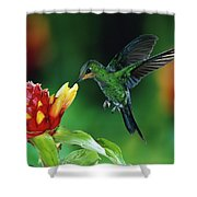 Green Crowned Brilliant Hummingbird Shower Curtain