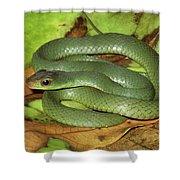 Green Racer Drymobius Melanotropis Amid Shower Curtain