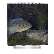 Green Sunfish Swimming Along The Rocky Shower Curtain