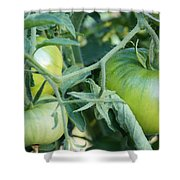 Green Tomato On The Vine Shower Curtain