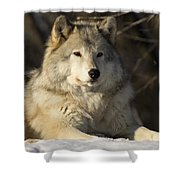 Grey Wolf Canis Lupus In Ecomuseum Zoo Shower Curtain