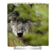 Grey Wolf, Outside Golden, British Shower Curtain