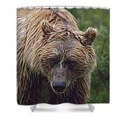Grizzly Bear Ursus Arctos, Denali Shower Curtain