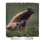 Grizzly Bear Ursus Arctos Stretching Shower Curtain