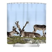 Group Of Caribou Resting On Alpine Shower Curtain
