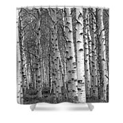 Grove Of Birch Trees Shower Curtain