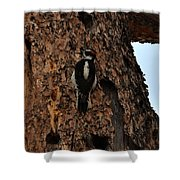 Hairy Woodpecker On Pine Tree Shower Curtain