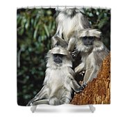 Hanuman Langur Semnopithecus Entellus Shower Curtain