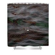 Harbor Seal In Kelp Bed Shower Curtain