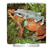Harlequin Frog Atelopus Varius Pair Shower Curtain