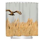 Harrier O'er Amber Waves Shower Curtain