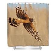 Harrier Over Golden Grass Shower Curtain by William Jobes