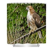 Hawk At A Wedding Shower Curtain