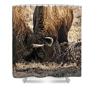 Head Butting Bison Shower Curtain