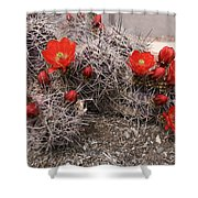 Hedgehog Cactus With Red Blossoms Shower Curtain