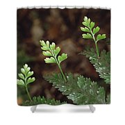 Hen And Chicken Fern Asplenium Shower Curtain