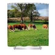 Hereford Bullocks Shower Curtain