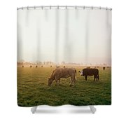 Hereford Cattle, Ireland Shower Curtain