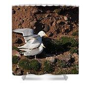 Herring Gulls Mating Shower Curtain