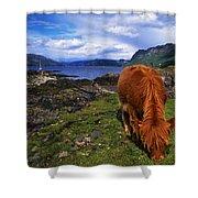 Highland Cattle, Scotland Shower Curtain