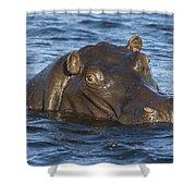 Hippopotamus Hippopotamus Amphibius Shower Curtain