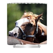 Horse At Mule Days 2012 - Benson Shower Curtain