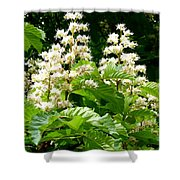Horse Chestnut Blossoms Shower Curtain