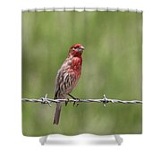 House Finch - Content Shower Curtain
