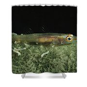 Hovering Goby On A Green Sponge, Fiji Shower Curtain